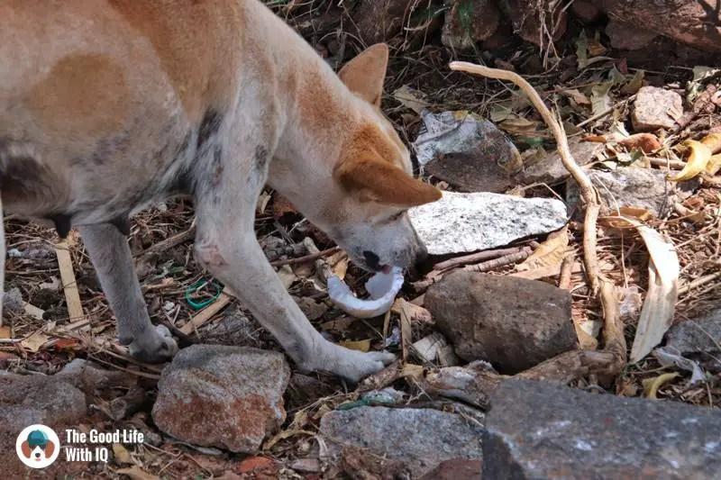 Doggie eating coconut, Mahabalipuram - 3 day trip to Pondicherry