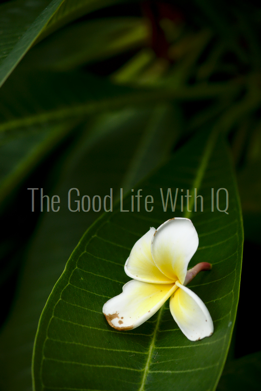 Vertical image of temple tree flower on leaf (preview)