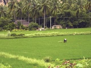 A farmer tends his rice fields