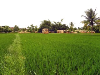 A view from the middle of a rice field