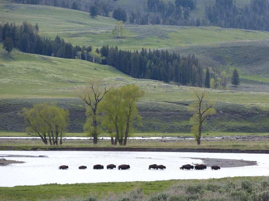 bison crossing Lamar river Yellowstone
