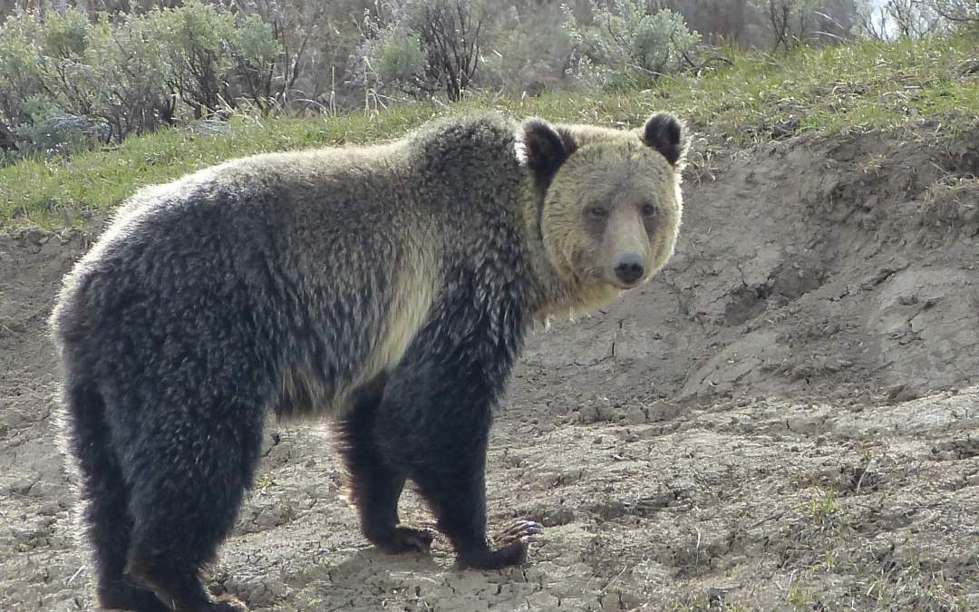 Finding Grizzly Bears In Yellowstone The Good The Bad