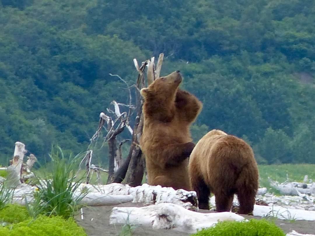 Brown Bears Hallo Bay Katmai National Park