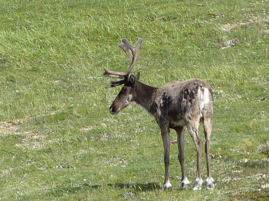 Another caribou