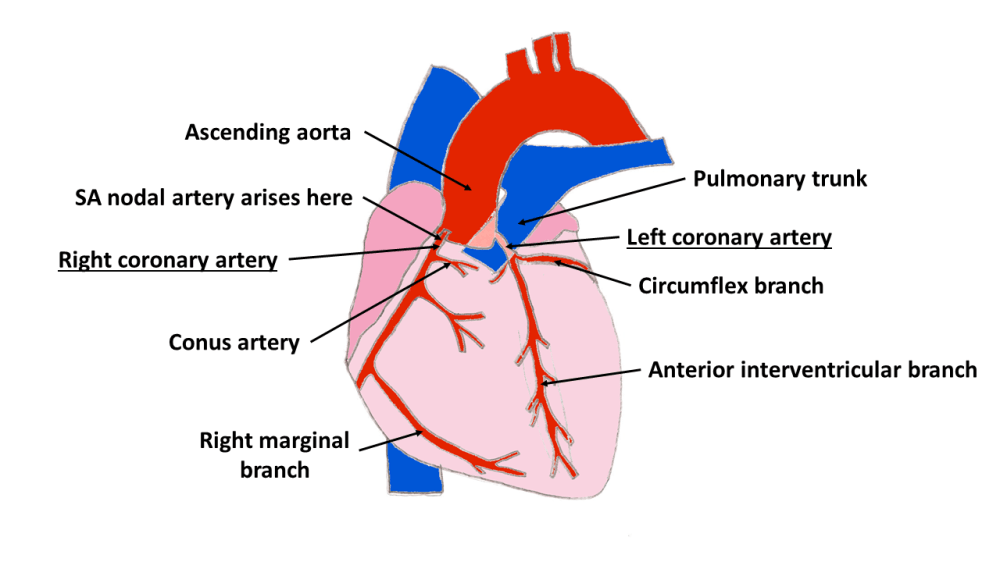 medium resolution of the main grooves of the heart are