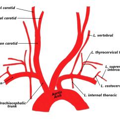 Carotid Artery Diagram Kohler Ignition 4 Arteries The Goofy Anatomist