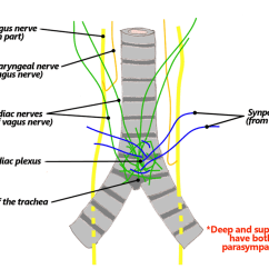 Vagus Nerve Diagram Ford F 150 Firing Order Cardiac Wiring Block 6 Nerves The Goofy Anatomist Sympathetic Innervation Of Heart