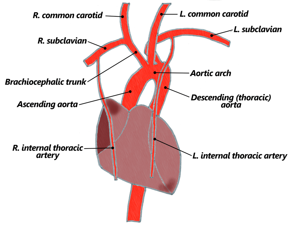 coronary arteries diagram branches old honeywell thermostat wiring 4 the goofy anatomist