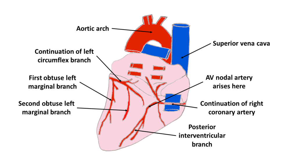 medium resolution of on the posterior aspect of the heart the right coronary artery gives rise to