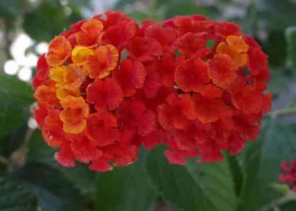 Gambar Bunga Lantana