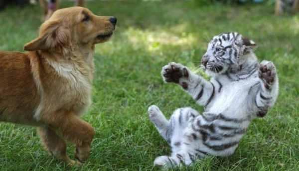 Cerita Fabel Anjing, Gunung, Keledai dan Macan Tutul