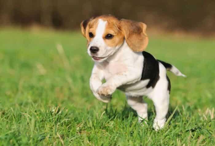 Jenis Anjing Beagle