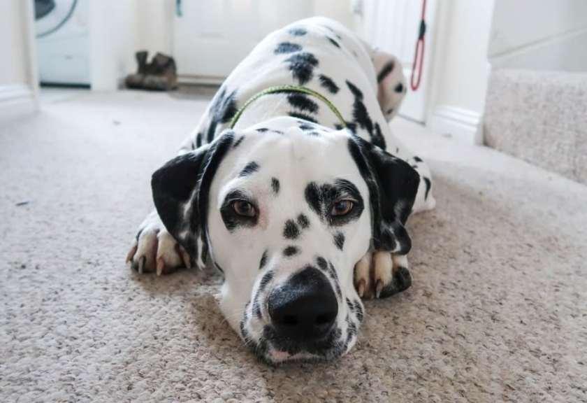 Jenis Anjing Dalmatian