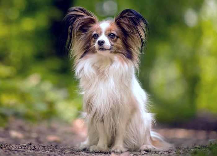 Jenis Anjing Papillon