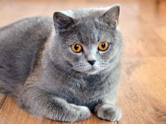 Jenis Kucing Bulu Pendek Britania