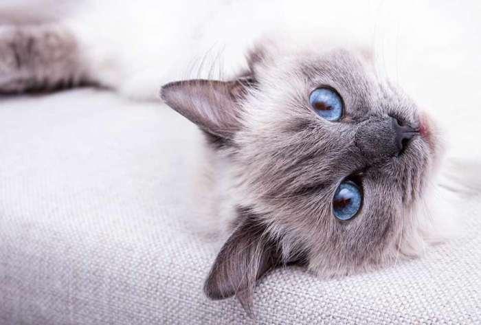 Jenis Kucing Ragdoll