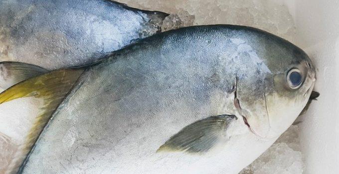 Ikan Bawal Cara Merawat Pakan Harga Jual Lengkap