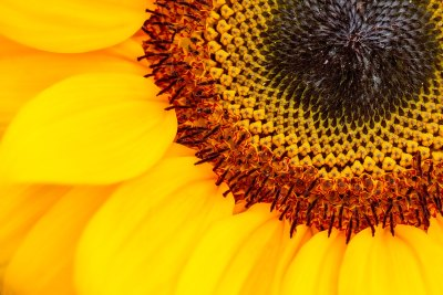 Golden Ratio Sunflower