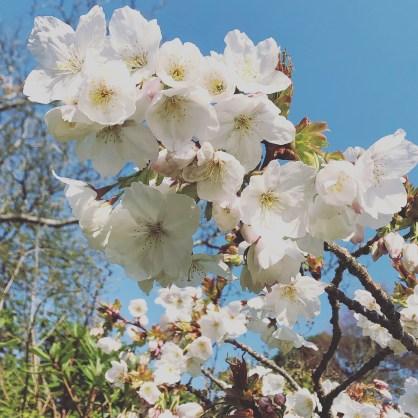Taihaku blossom 1.4.2019