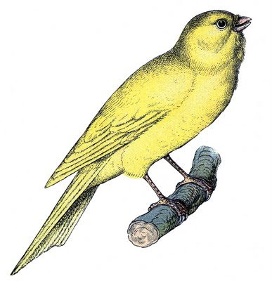 vintage clip art - sweet canary