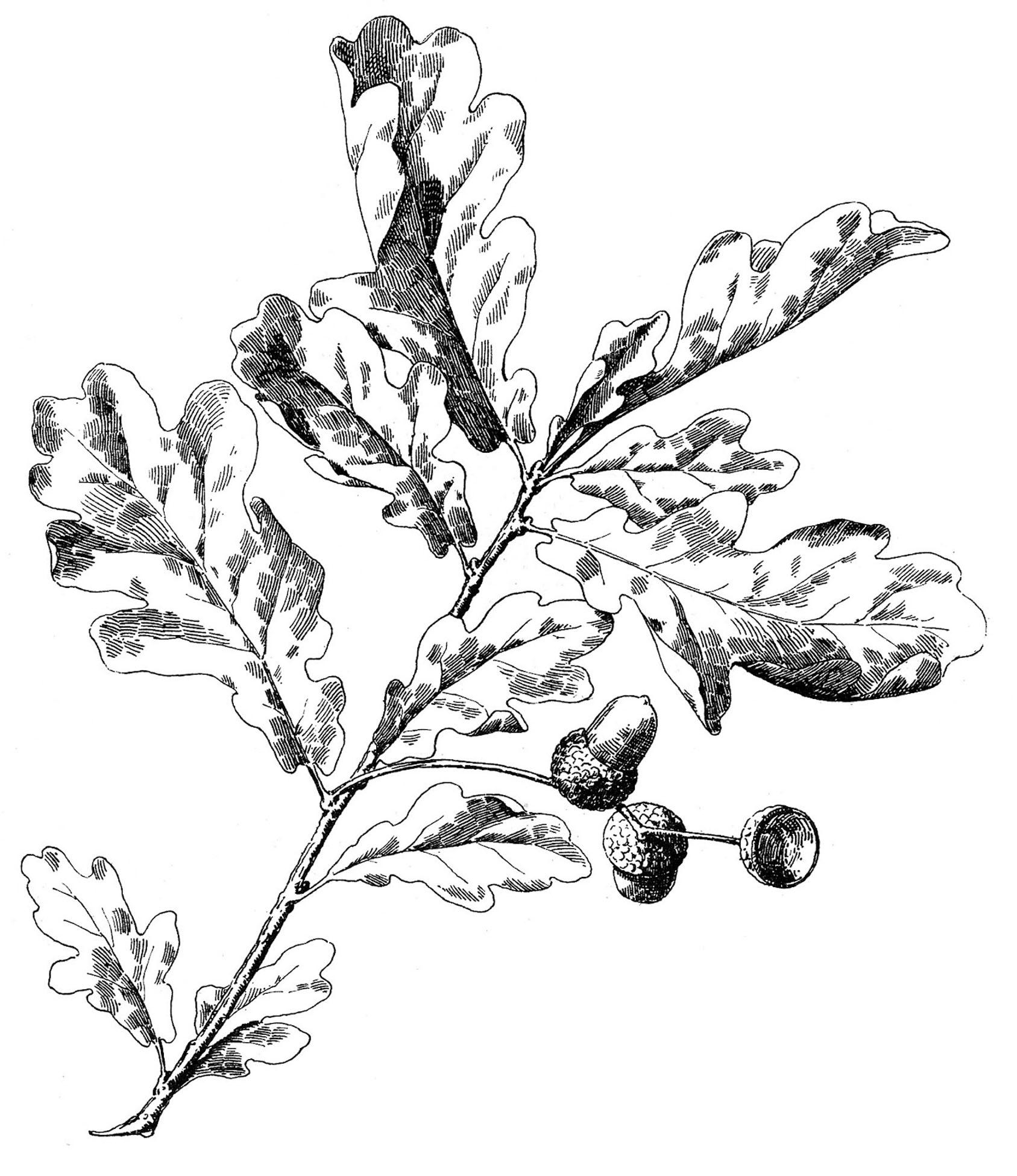 16 Oak Leaf Images With Acorns