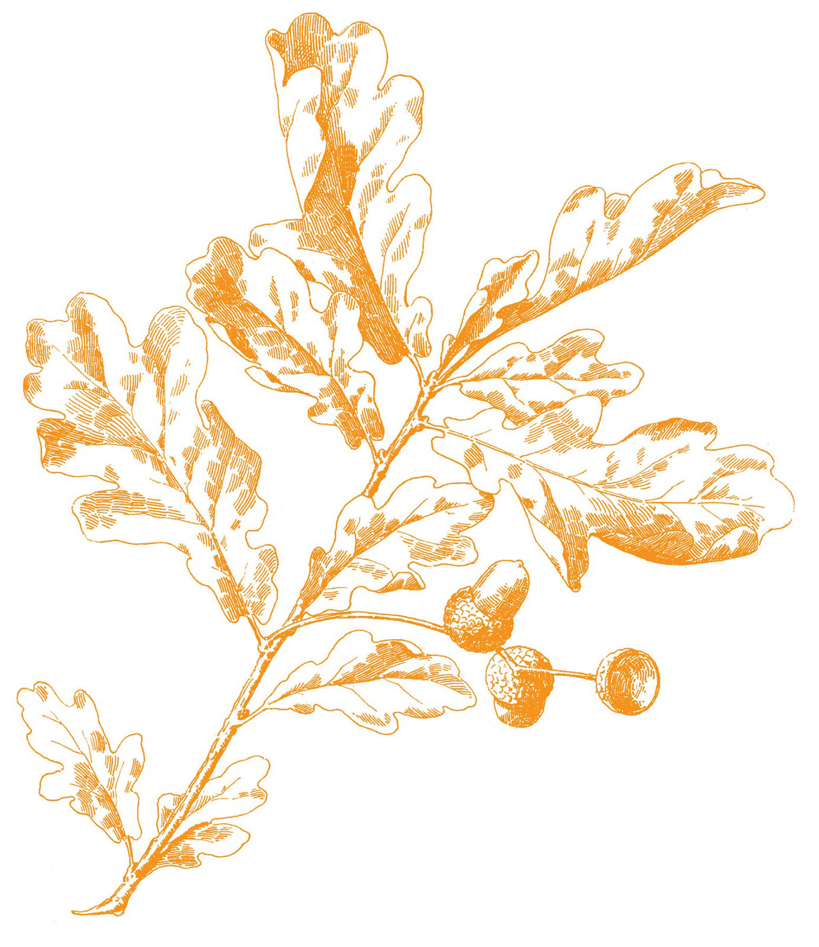 hight resolution of oak leaves image gold here is the gold version