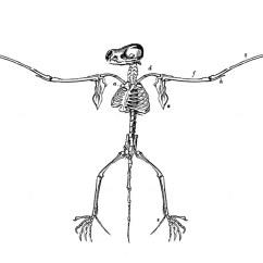 Bird Diagram Unlabeled Freightliner Wiring Diagrams Free Vintage Halloween Clip Art Super Creepy Bat Skeletons