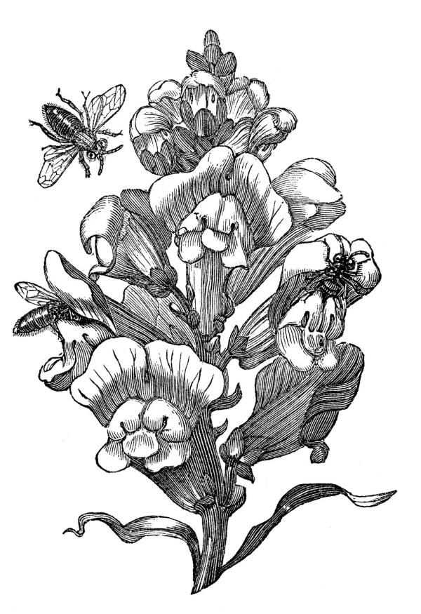 snapdragon drawing