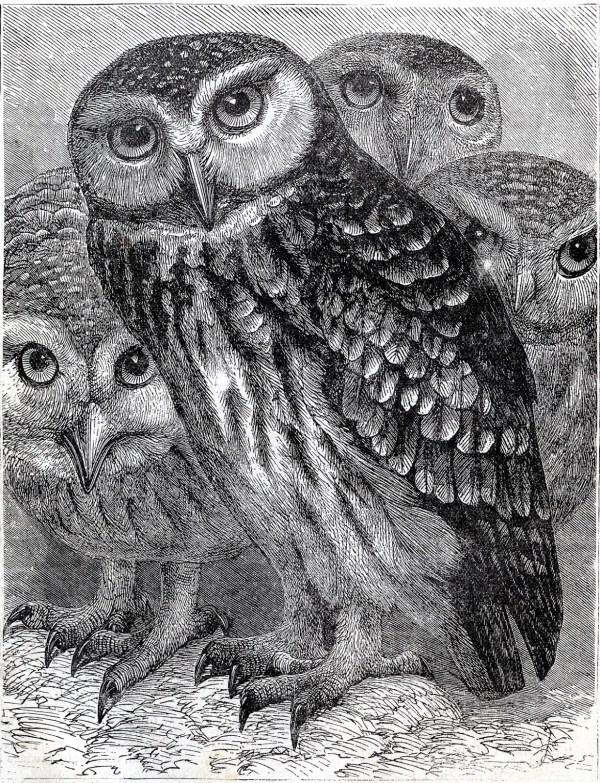 Vintage - Wonderful Owls Printable Graphics Fairy