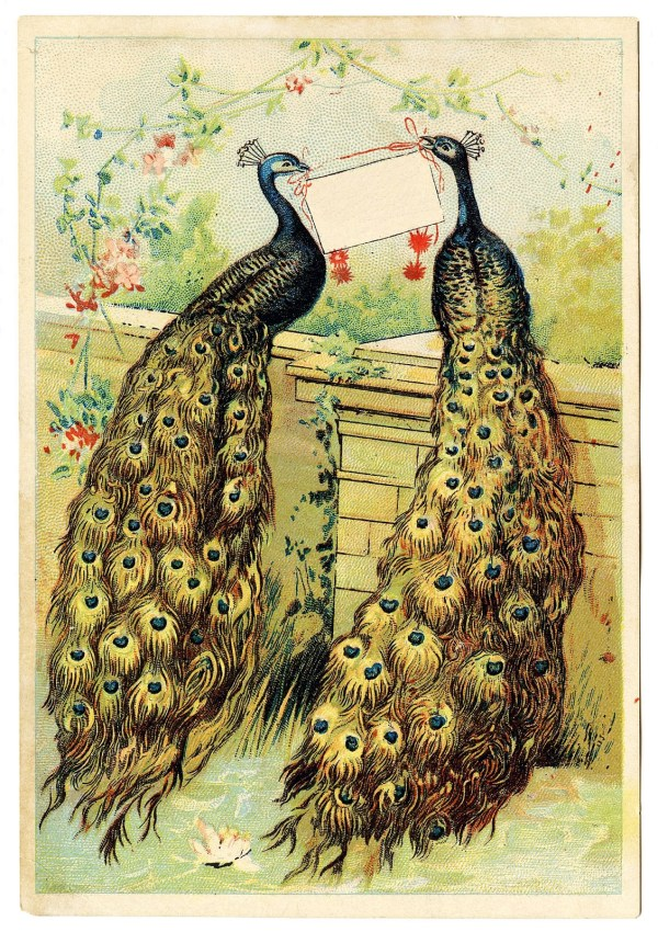 Vintage - 2 Pretty Peacocks With Sign Graphics Fairy