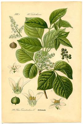 Instant Art Printable Botanical #8 Poison Ivy The