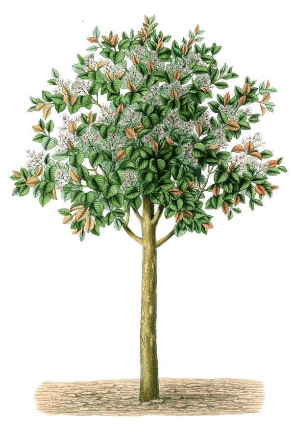 Free Vintage Tree Illustration