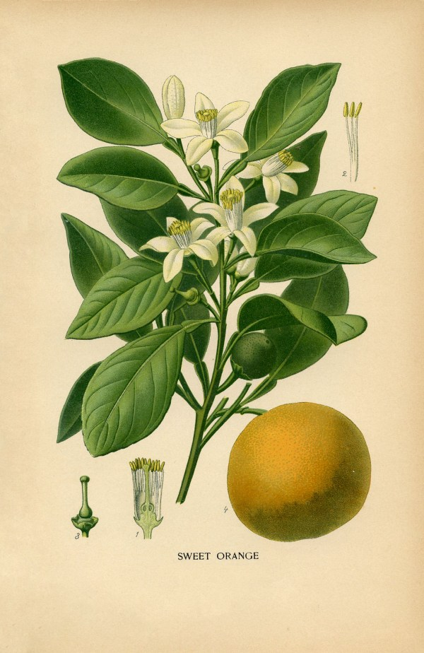 Vintage Botanical Print - Sweet Orange Graphics Fairy