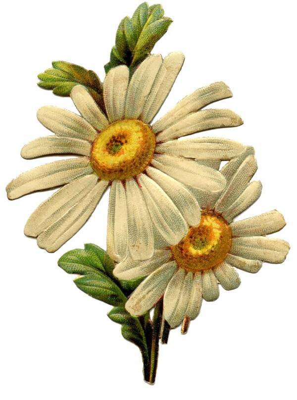 daisy - lovely