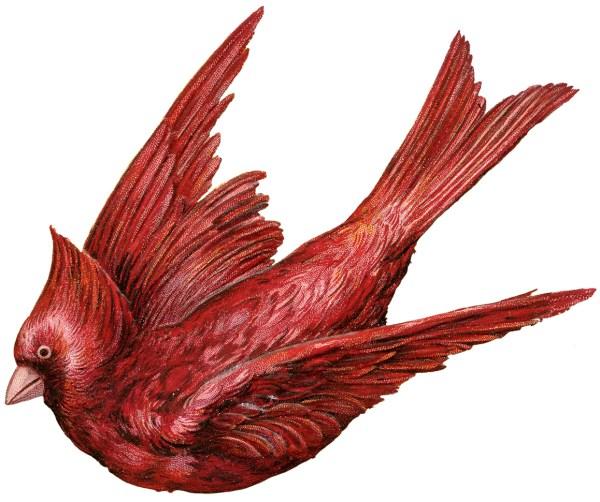 Exceptional Cardinal Bird - Graphics Fairy