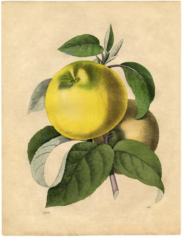 Free Botanical Art Prints - Apples Graphics Fairy