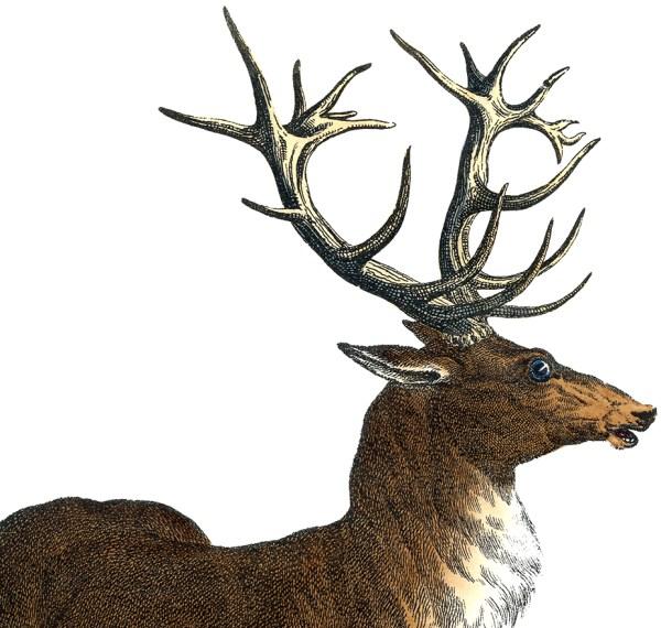 Red Stag Deer