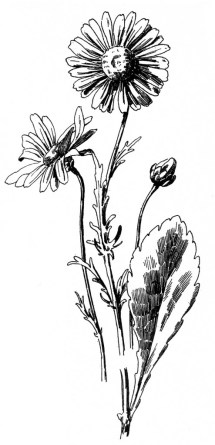 free daisy drawing - graphics