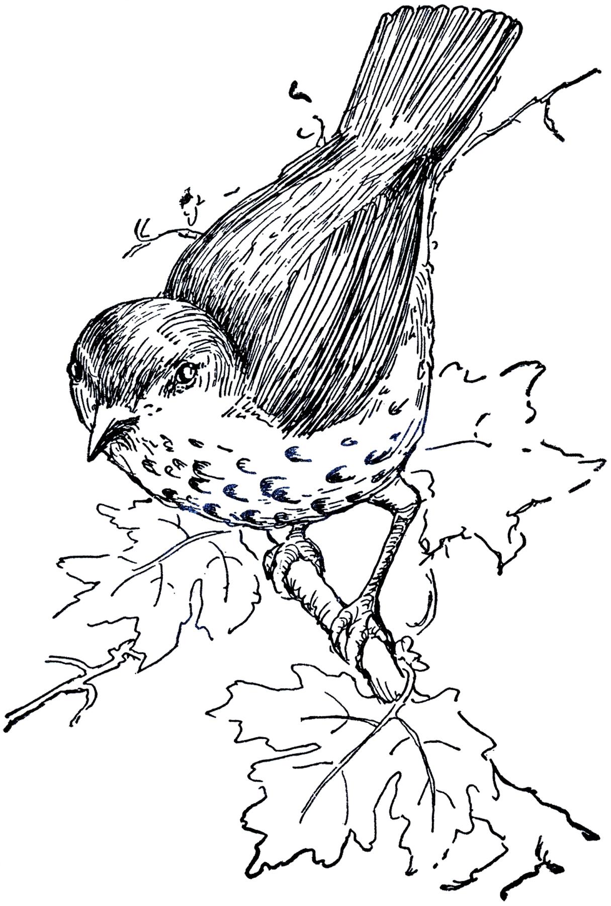 Bird Illustration Thrush