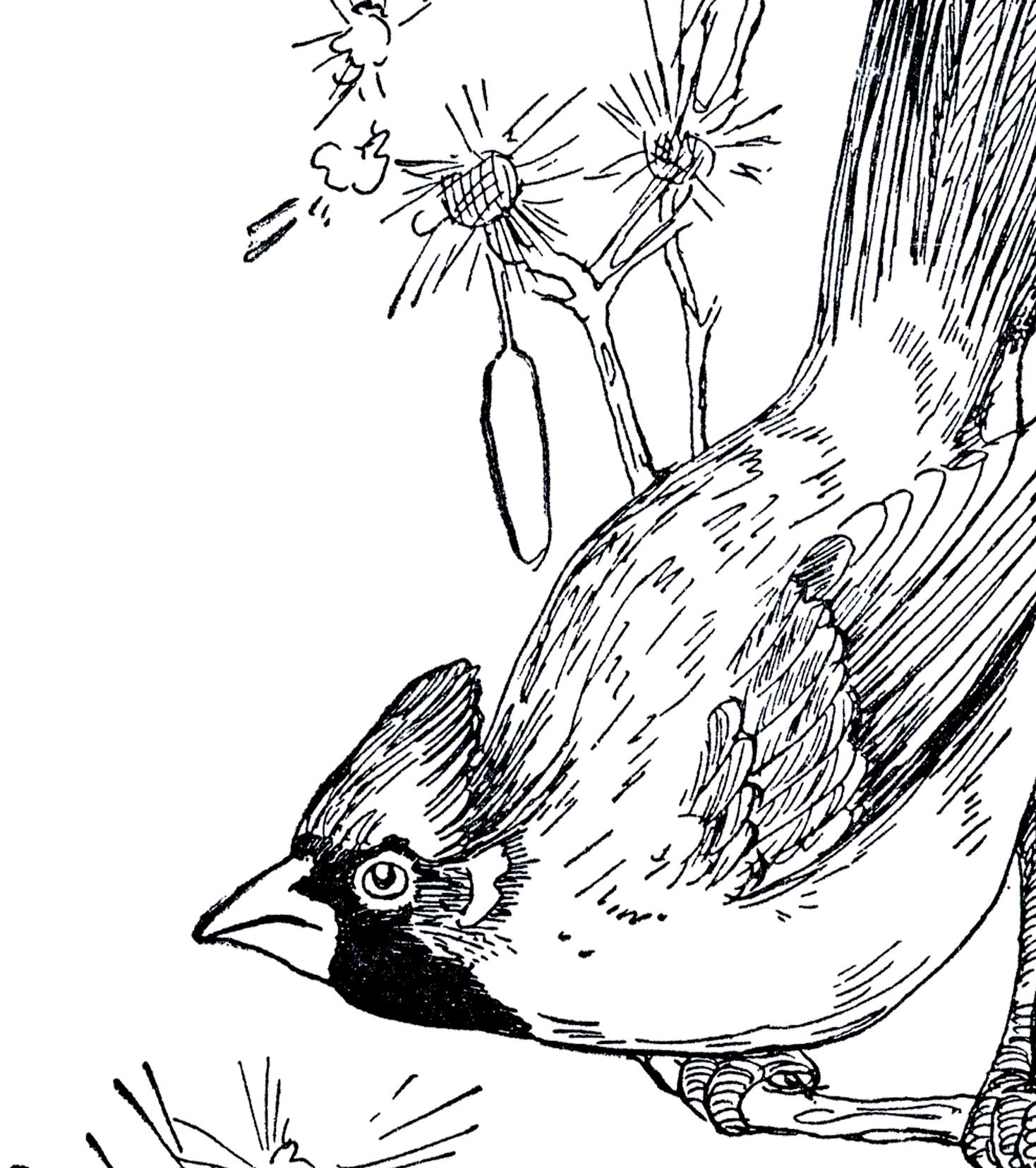 Vintage Cardinal Drawing