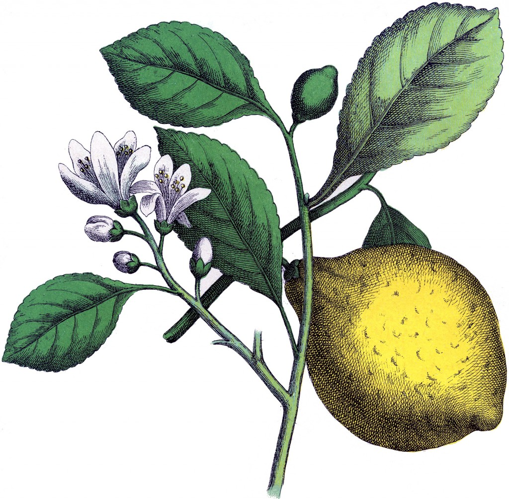 Fantastic Botanical Lemon Image The Graphics Fairy