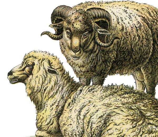 Realistic Sheep Illustration - Graphics Fairy