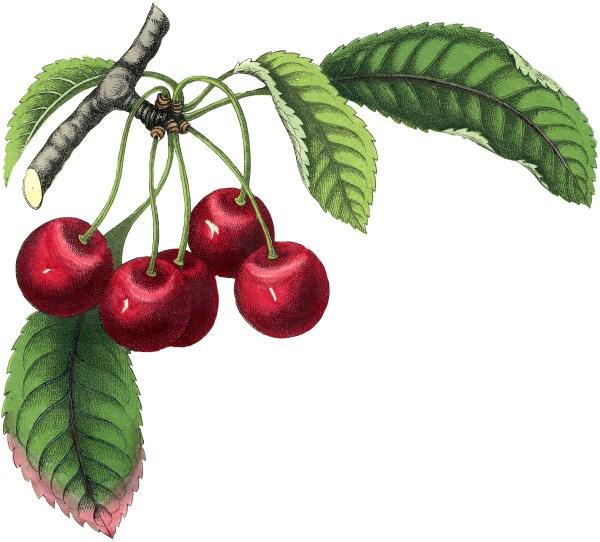 Cherry - Graphics Fairy