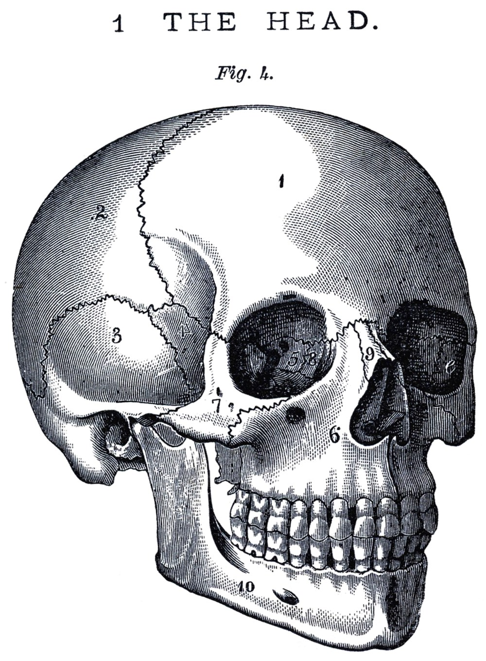 medium resolution of skull side view images