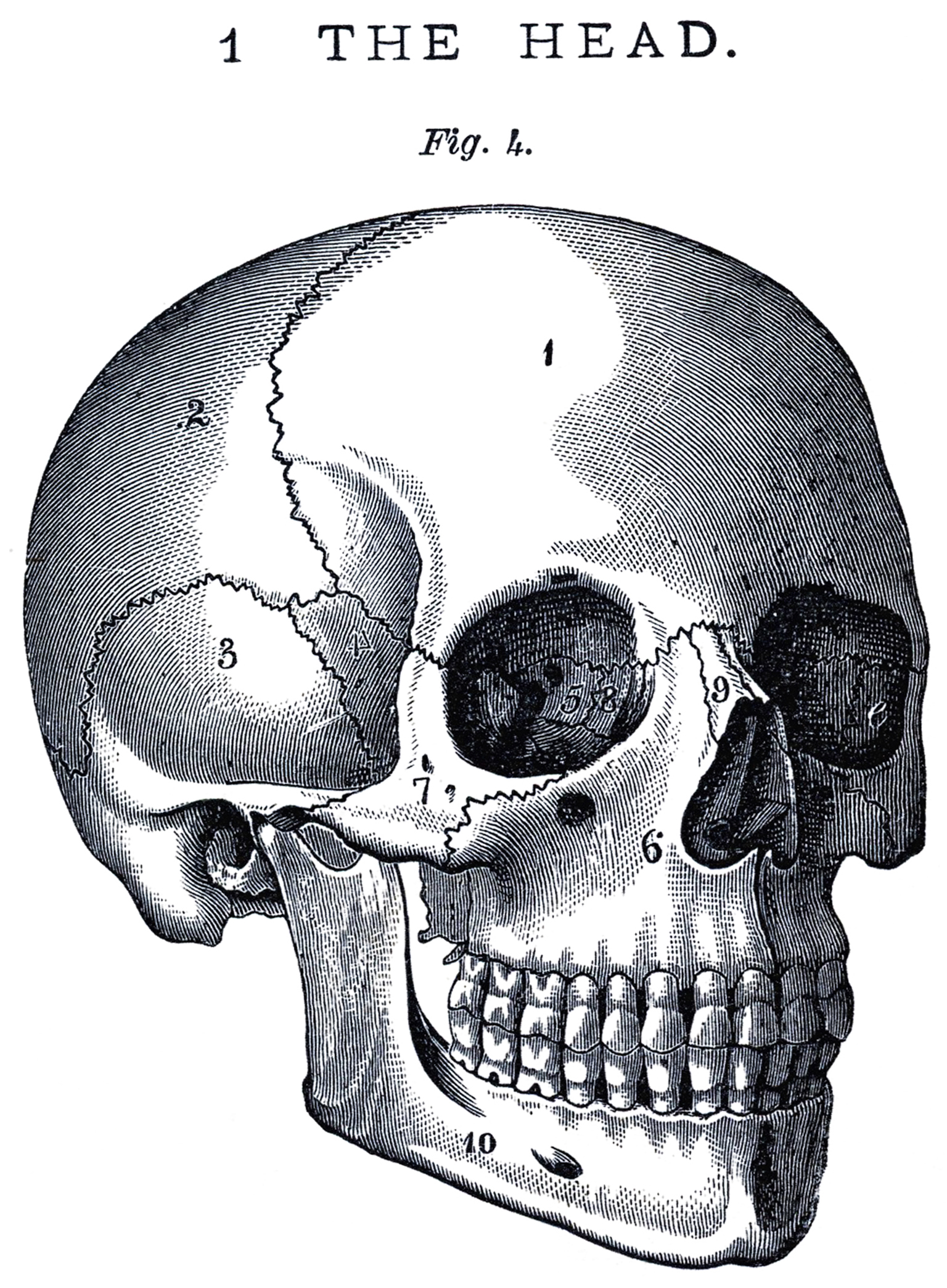 hight resolution of skull side view images