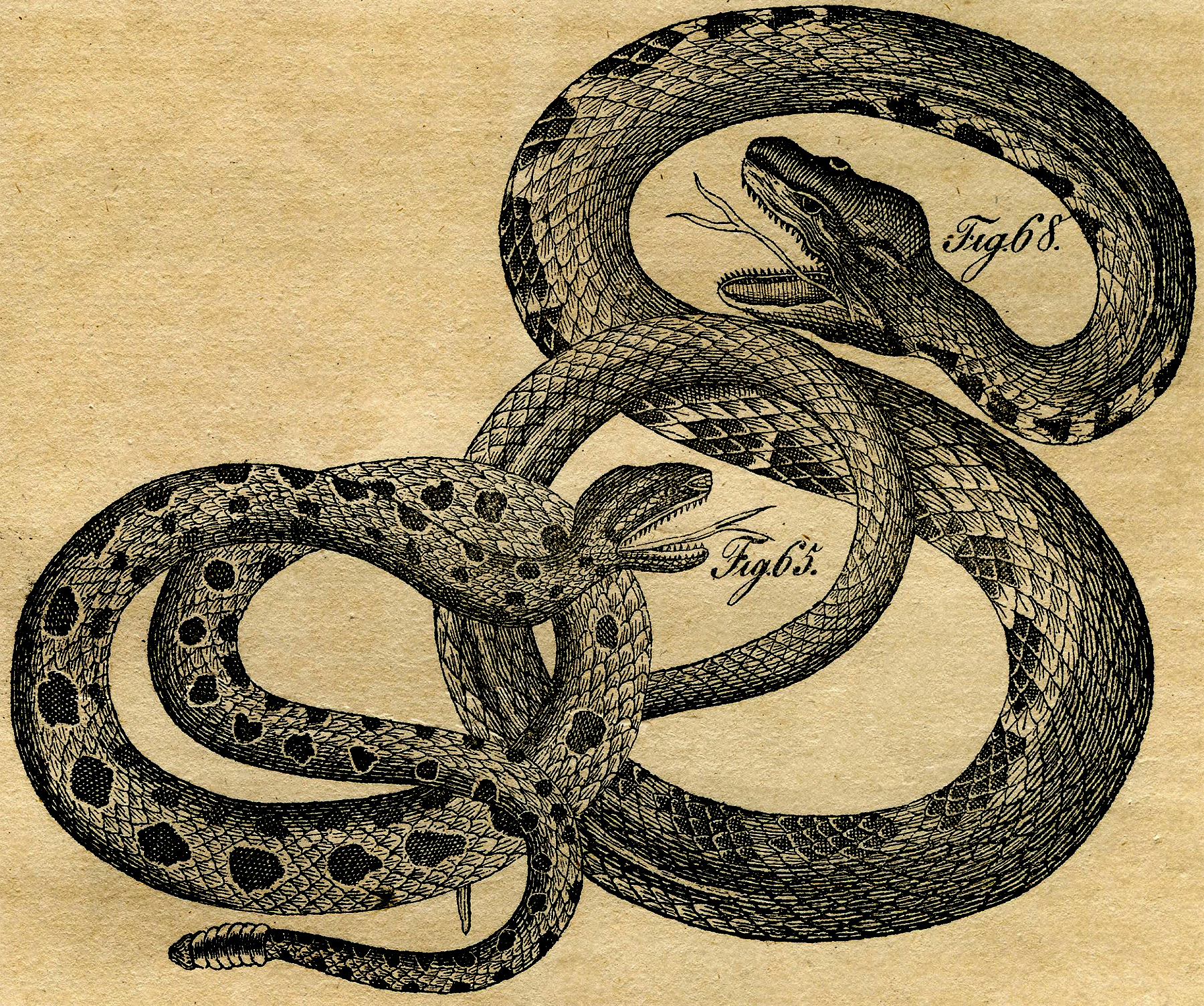 Vintage Snakes Picture The Graphics Fairy