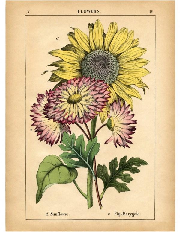lovely vintage sunflower printable
