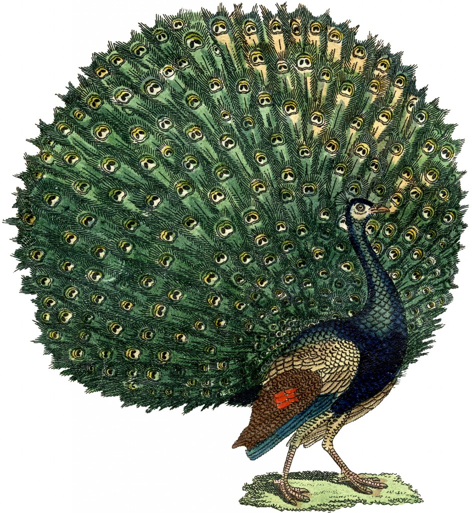 Free Early Fall Wallpaper Fabulous Free Public Domain Peacock Image The Graphics