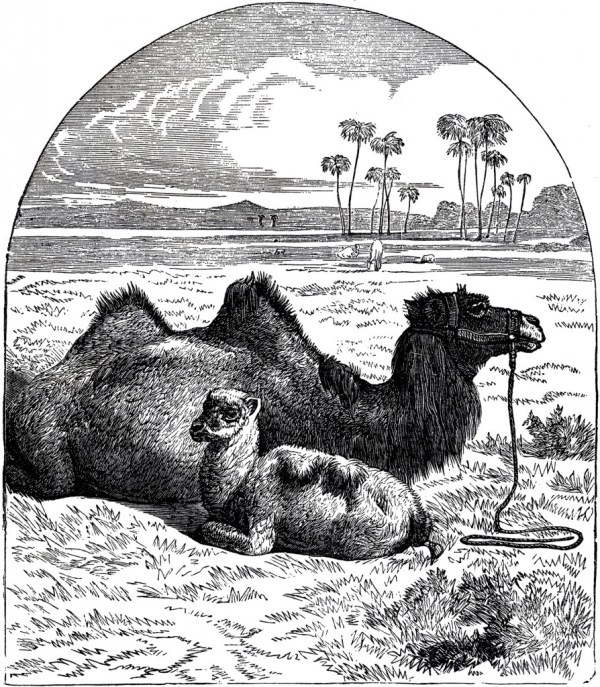 Public Domain Camel - Graphics Fairy