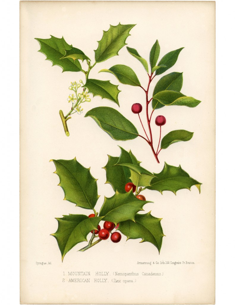 Vintage Holly Printable  Beautiful Botanical  The Graphics Fairy